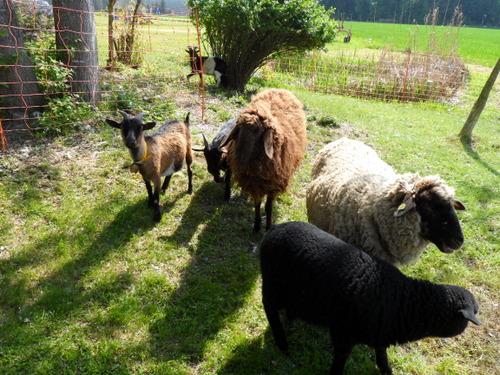 die familieneigenen Schafe und Zwergziegen
